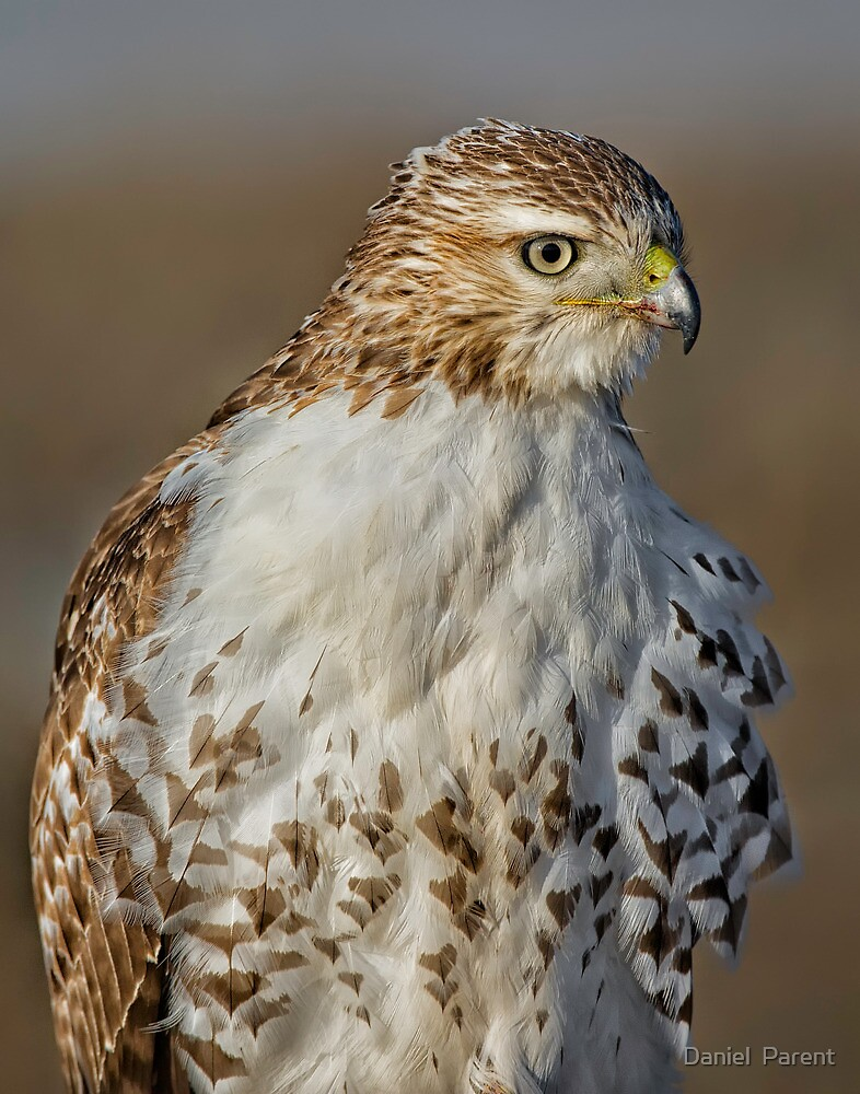 Red tailed Hawk Profile by Daniel  Parent