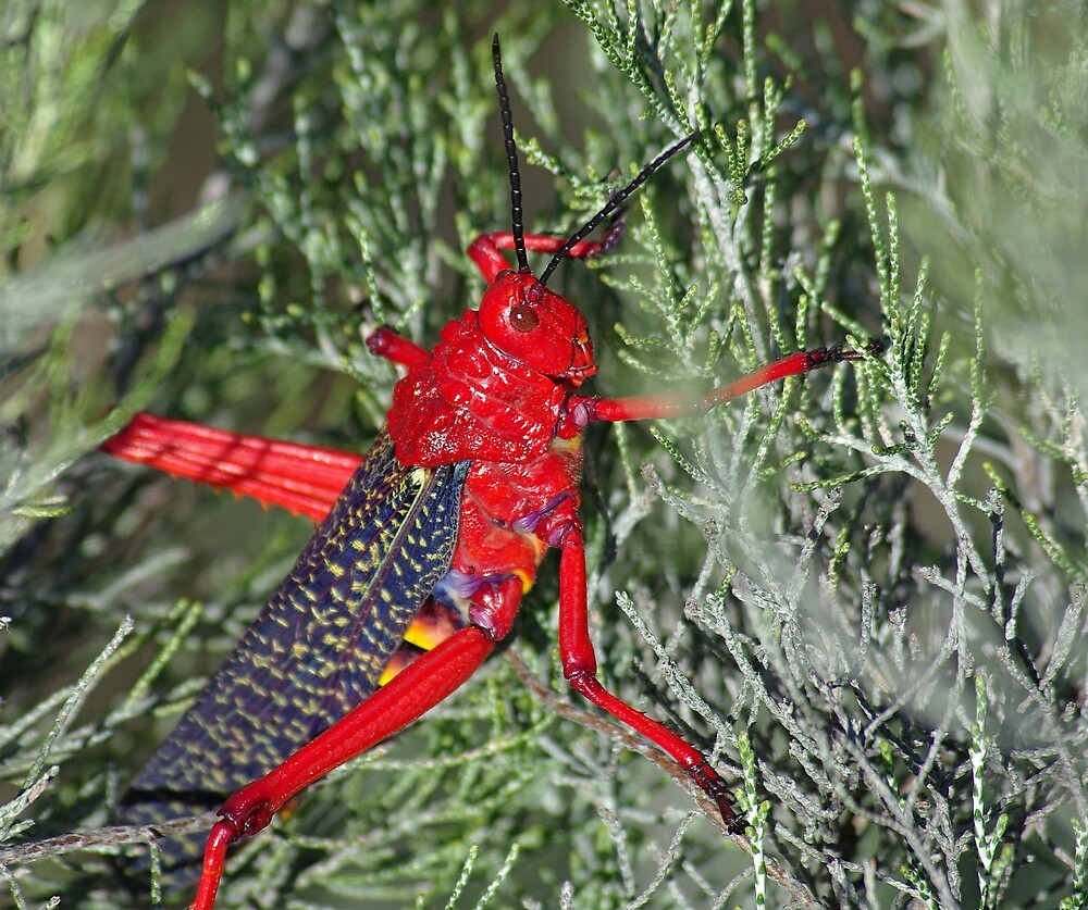 grasshopper in the backyard...... by Martina  Stoecker