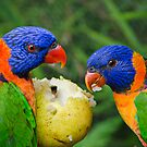 Rainbow Lorikeets (Trichoglossus haematodus) feeding on a Pear by Nick Egglington
