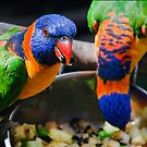 Rainbow Lorikeets (Trichoglossus haematodus) feeding by Nick Egglington