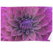 Purple dahlia with dew Poster