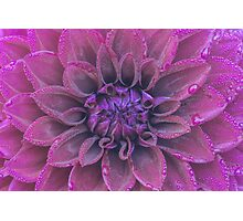 Purple dahlia with dew Photographic Print