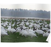Snow geese family migrations Poster