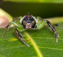 Mopsus mormon Jumping Spider by Teale Britstra