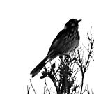 north head manly - b & w honeyeater by miroslava