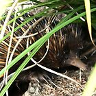 Shy Echidna by Bami