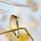 Cedar Waxwing Closeup in Tree by Susan Gary