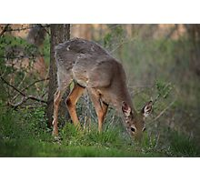 Wild Deer Eats Dinner Photographic Print
