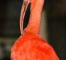 Scarlet Ibis by neil harrison