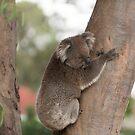 Koala Bear by SusanAdey