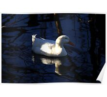 Blue water white duck  Poster