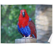 Eclectus Parrot, Eclectus Roratus Poster