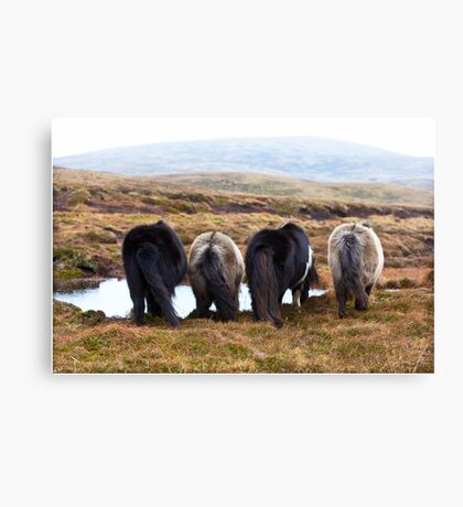 Shetland Ponies drinking (highlighted) Canvas Print