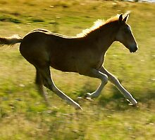 Appaloosa foal running by Robert Down