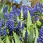 Grape Hyacinth by Irina777