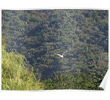 Flying Heron - Garza Blanca Volando Poster
