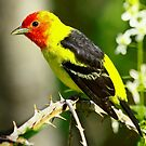 Western Tanager on it's Spring Migration  by Chuck Gardner