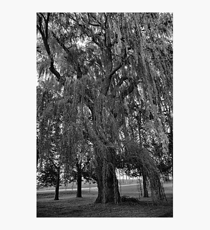 Old Man Willow Weeping  Photographic Print