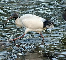 Ibis in a Pond by STHogan