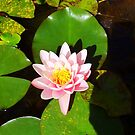 Water Lily by AAJ24