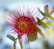 Radiated Flower of Eucaluptus Macrocarpa by Darren Speedie
