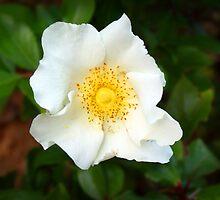White Rose of York by Darren Speedie