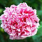 Old-world rose by Darren Speedie