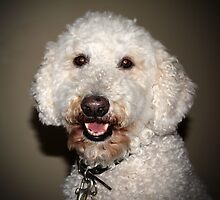 Jake The Labradoodle  by Cynthia48