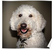 Jake The Labradoodle  Poster