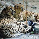 Cheetahs - Singapore. by Ralph de Zilva