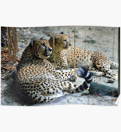 Cheetahs - Singapore. Poster