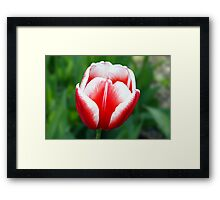 Red & white tulip Framed Print
