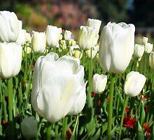 White tulip field by Darren Speedie