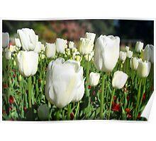 White tulip field Poster