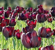 Tulips en masse by Darren Speedie