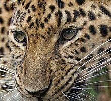 Amur Leopard by Dave Tucker
