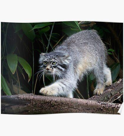 Pallas cat on Branch Poster