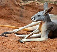Relaxing Kangaroo by Mihaela Limberea