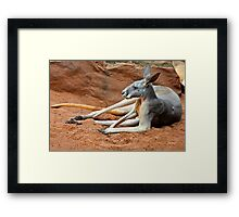 Relaxing Kangaroo Framed Print