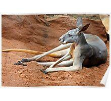 Relaxing Kangaroo Poster