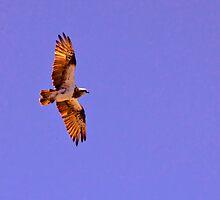Osprey Circling by Stephen  Nicholson