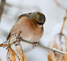 Chaffinch (Fringilla coelebs) by Vasil Popov