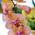 Orchid by Lisa Bianchi