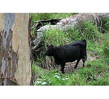 Black Cow Photographic Print