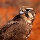 Brown Falcon, Boolcoomatta by Blue Gum Pictures