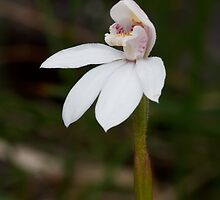Mountain Caladenia - Stegostyla alpina by Paul Piko