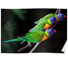 Hungry Lorikeets Poster