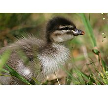 Baby Wood Duck Photographic Print