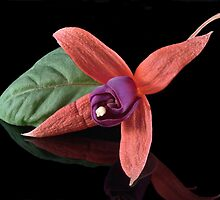 Fuchsia XX by Tom Newman