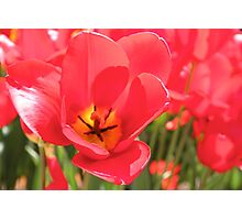Tulip Me Red Photographic Print